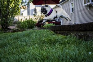 A pug jumping around its new home
