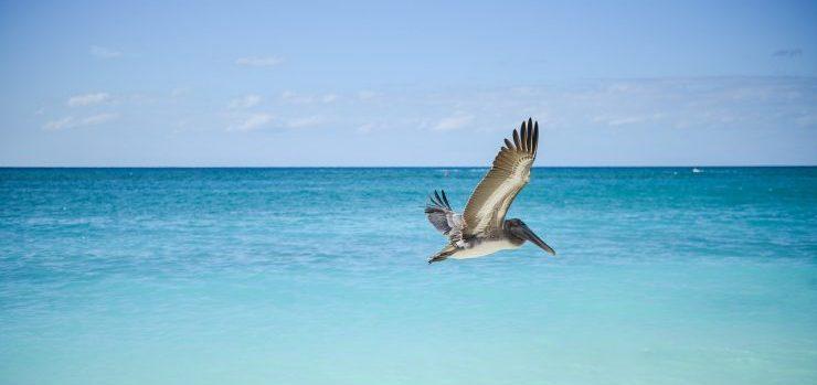 A pelican flying over an ocean.