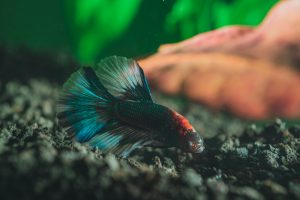 Dark-colored fish swimming in aquarium.