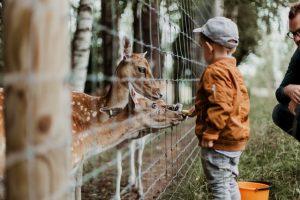 a boy feeding does through a fence