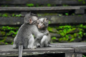 two grey monkeys in a hug