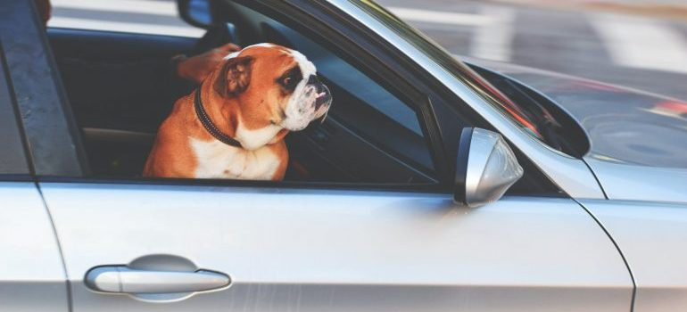 English bulldog inside the car as a symbol of moving long-distance with a pet